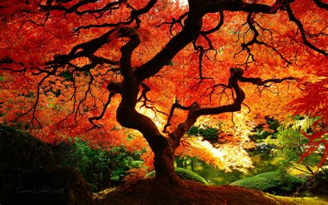 japanese maple fall japanese maple in portland oregon woahdude