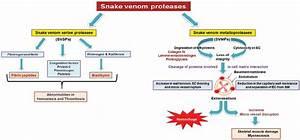 Mechanism Of Action Of Snake Venom Proteases  Svsps  Snake