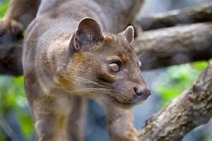 Fossa - Zoo Atlanta  Animal