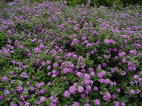 lantana plant plantanswers plant answers gt 12 months of watersaver landscape color september