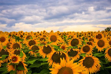 sunflower flower nature  photo  pixabay