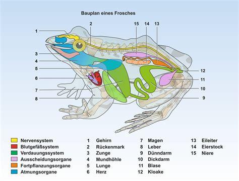 skelett organe