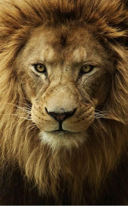Lion Male Faces Face Query Lemon Wallpapertag