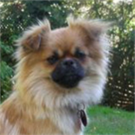 pekingese pomeranian mix shedding pominese pekingese and pomeranian mix pictures and