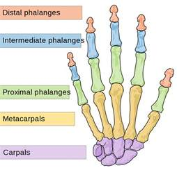 What Does Icd 10 Stand For by File Scheme Human Hand Bones En Svg Wikimedia Commons