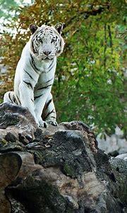 #photography #animals #wildlife #whitetigers | White tiger ...