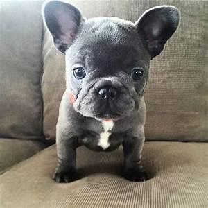 Blue French Bulldog Puppy | CUTENESS ♥ | Pinterest | Blue ...