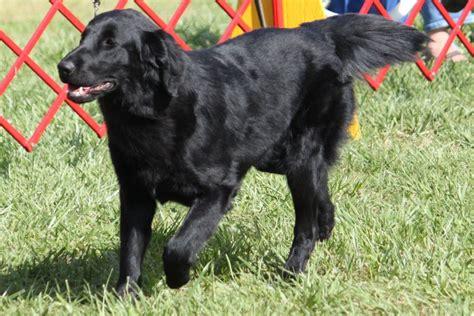 flat coated retriever breed information flat coated