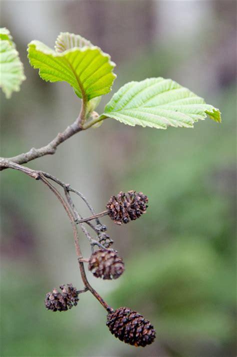 erle steckbrief fortpflanzung nutzung und besonderheiten