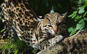 Ocelot Pictures HD Desktop Wallpapers 4k HD