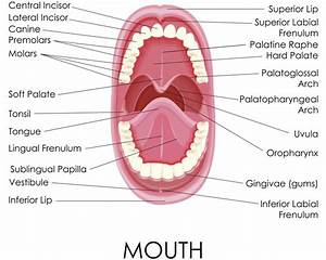 Labelled Diagram Of Human Mouth