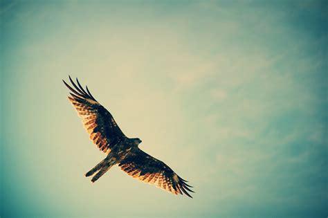 sky birds hawks flying hunting wallpapers hd desktop