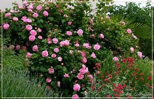 Rosen Und Lavendel : kombination mit lavendel gartenplanung gartengestaltung green24 hilfe pflege bilder ~ Yasmunasinghe.com Haus und Dekorationen