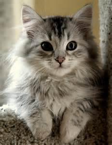 siberian kittens photos