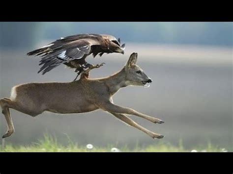 eagle attacks animals dog birds drone goose kangaroo animal attack compilation youtube