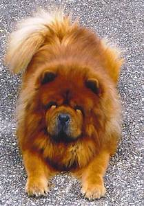 chow dog photo | lion and dog mix honey chow chow tootsie ...