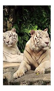 Two White Tigers | High Definition Wallpapers, High ...