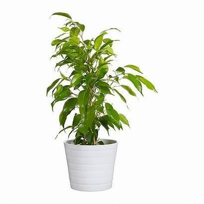 Ikea Kardemumma Pot Plant Plants Indoor