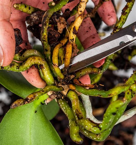 orchideen aus samen ziehen beginnen wir mit den wurzeln teil 2 orchideen pflege