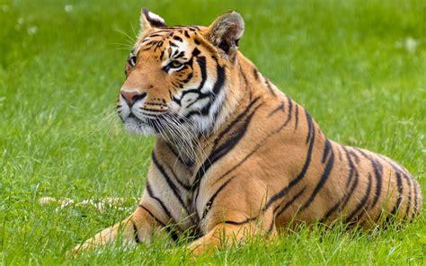 Wallpaper Cats Animals - big cats tiger animals hd wallpapers desktop and