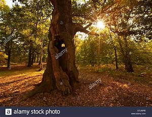 Foret De Sherwood : sherwood forest oak autumn photos sherwood forest oak ~ Voncanada.com Idées de Décoration