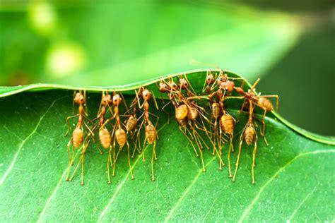 was sind ameisen krafttier ameise flei 223 ige arbeiterin verk 252 nderin des neuen