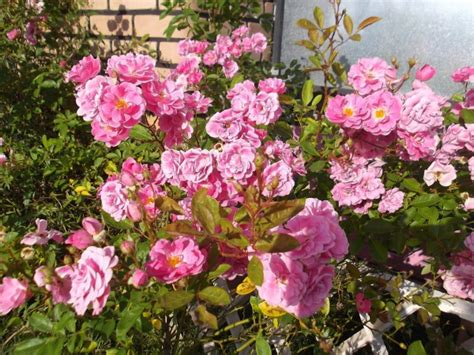 Plantas Que Complementam Roseiras | Flores - Cultura Mix