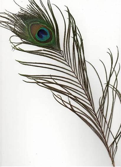Peacock Feather Feathers Single Clipart Tattoo Google