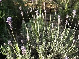 Lavendel Sorten übersicht : lavendel angustifolia winterharter lavendel bambus und pflanzenshop ~ Eleganceandgraceweddings.com Haus und Dekorationen