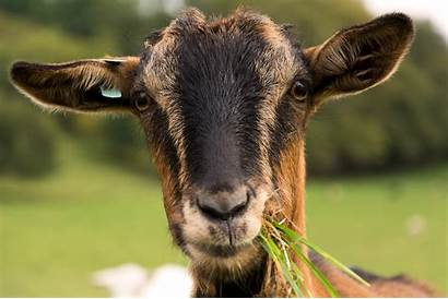 Goat Portrait Brown Goats Libreshot Farm