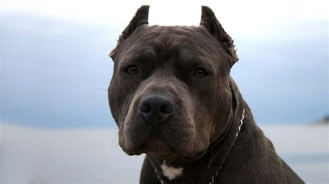 Best Pit by 10 Best Pit Bull Names