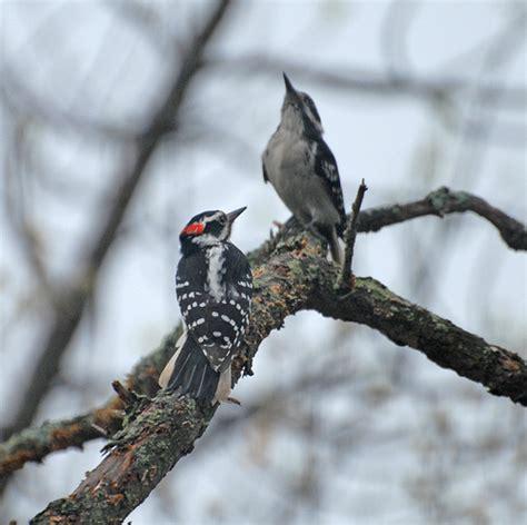 bird courtship rituals the backyard naturalist the