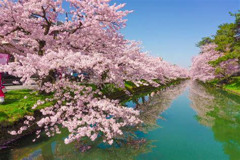 guide  cherry blossom  japan telegraph travel
