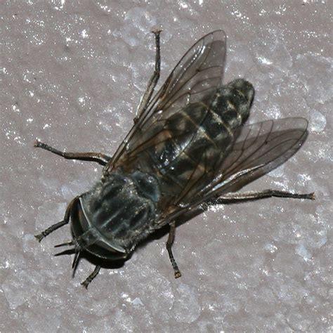 Big Horse Fly