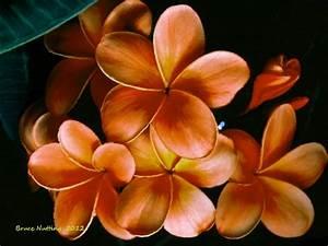 Orange Plumeria   Flowers by Bruce Nutting   Pinterest