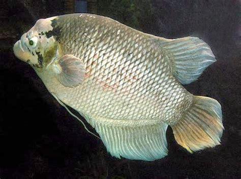 Distributor Peternakan Ikan Gurame bisnis perikanan budidaya ikan gurame