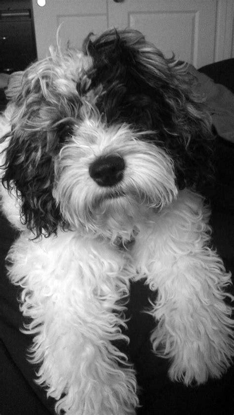 117 besten Cockapoo Bilder auf Pinterest | Hunde