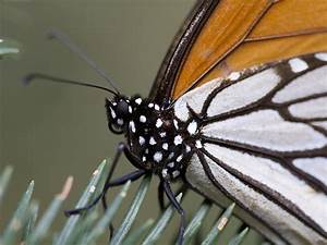 Monarch Butterfly Hibernation