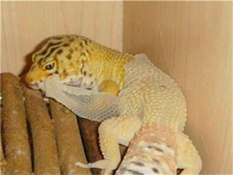 shedding gecko
