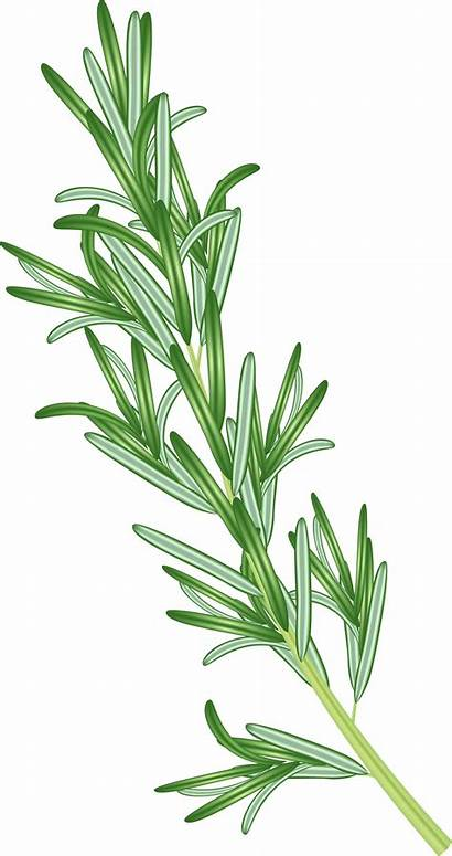 Rosemary Herb Clipart Transparent Yopriceville