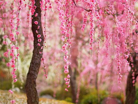 The bark of mature trees develops a dark scaly or flaky pattern. Beautiful spring, pink flowers bloom, trees Wallpaper ...