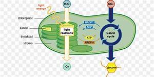 Photosynthesis Chloroplast Cell Diagram Chlorophyll  Png