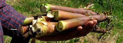mangez vos pousses de bambous conseils coaching jardinage des conseils pour votre jardin