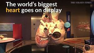 World's biggest heart - from a blue whale - displayed in ...