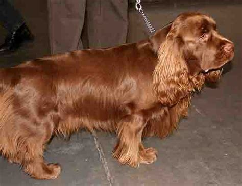 do boykin spaniels shed span of wirehaired vizsla