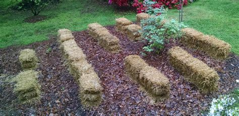 Where To Buy Straw Bales For Gardening by Growing Vegetables In Straw Bales Straw Bale Gardening