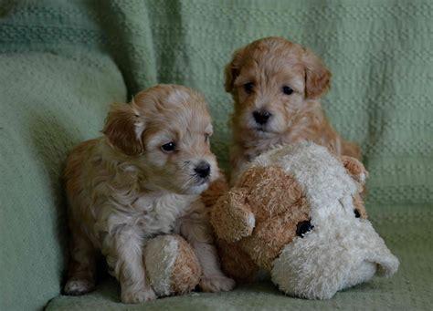 Havapoo Puppies For Sale  Horncastle, Lincolnshire