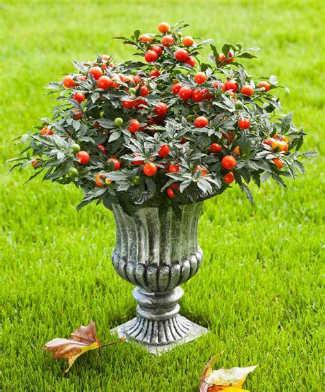 pommier d amour exterieur achetez maintenant une plante en pot pommier d amour megaball bakker
