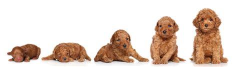 dog growth stages goldenacresdogscom