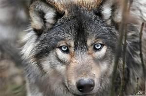 Timber wolf at Wildpark Bad Mergentheim